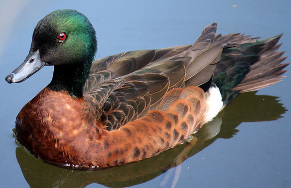 Chestnut Teal Duck - male