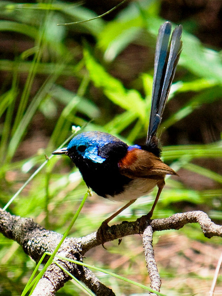 Veriegated Fairy-Wren (male)