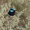 Superb Fairy-wren (male)