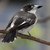 Pied Butcher-bird