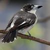 Pied Butcher-bird