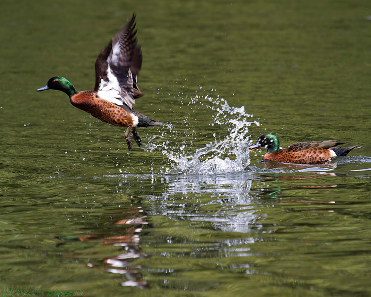 Chestnut Teal ducks.