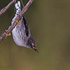 Varied Sitella (female)