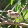 Veriegated Fairy-Wren (female)