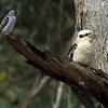 Laughing Kookaburra & Noisy Miner