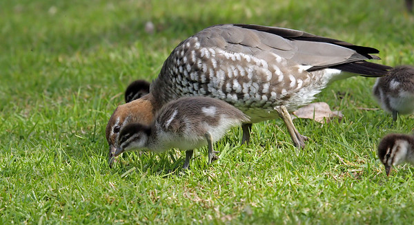 Wood Duck (female) and little duckling