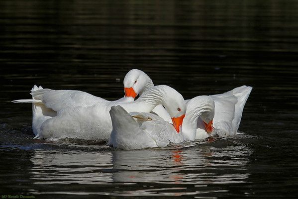 Domestic Greylag Geese