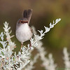 Superb Fairy-wren (female)