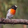 Scarlet Robin (male)