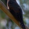 Fan-tail Cuckoo