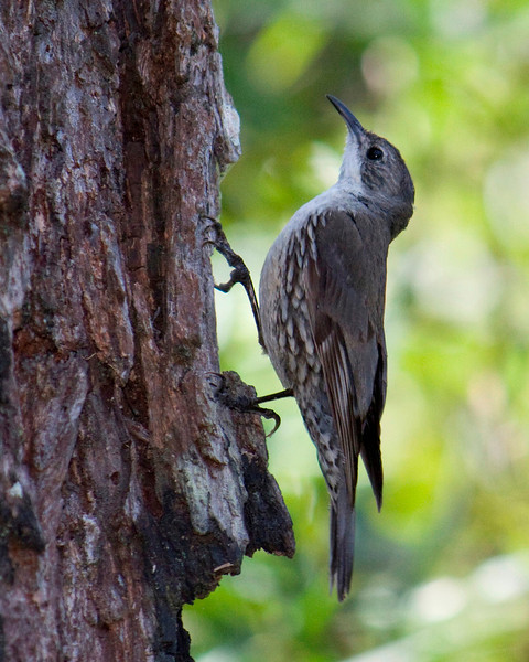 White Throat Tree-creeper