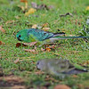 Red rumped Parrots