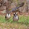 Noisy Miner & Kookaburras