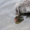 Silver Australian Black Swan