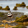 Double banded Plover