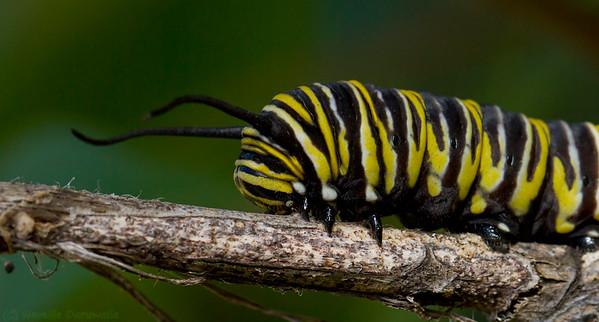 Monarch butterfly as a caterpillar