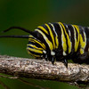 Monarch butterfly as a caterpillar