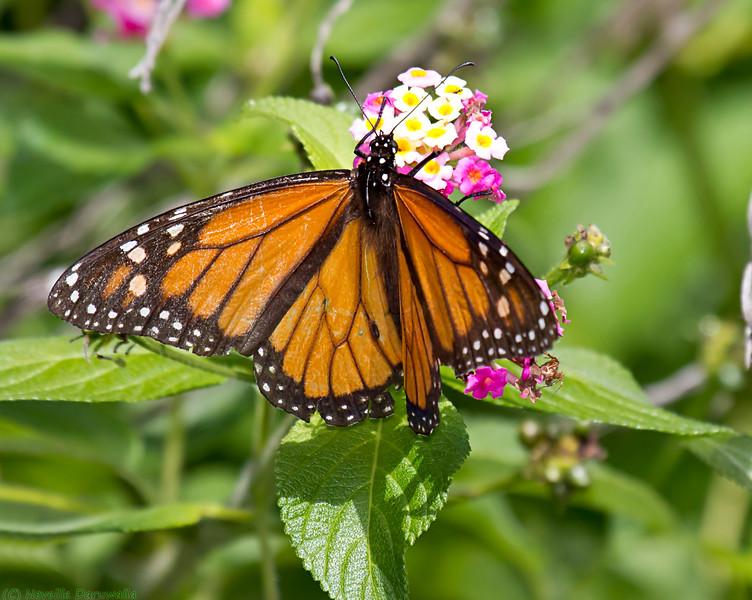Wanderer - Monarch