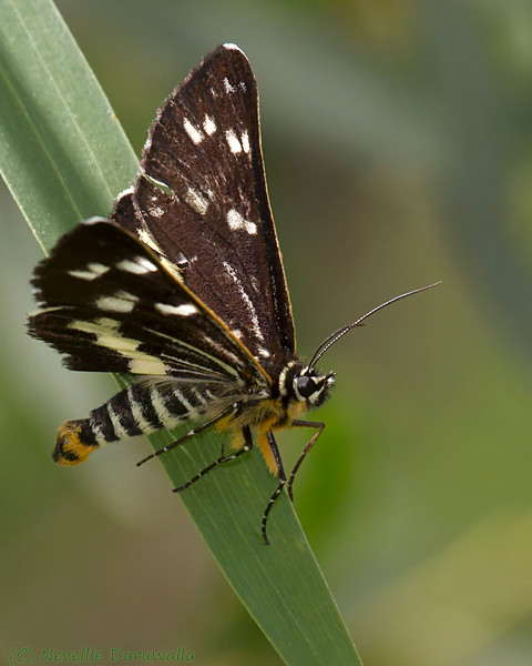 Silvered Skipper