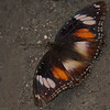 Varied Eggfly - male