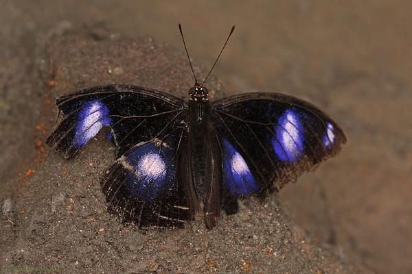 Varied Eggfly - female