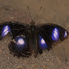 Varied Eggfly - female