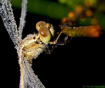 Black-headed Skimmer