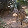 Meerkat (captive)