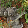 Northern Koala (captive)