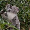 Northern Koala