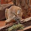 Kangaroo (captive)