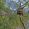 Grey Flying Fox