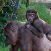 West African Gorillas (captive)