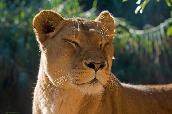 Lioness (captive)