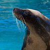 Australian Sea-lion  (captive)