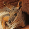 Yellow-footed Rock Wallaby (captive)