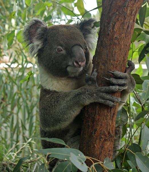 Southern Koala (captive)