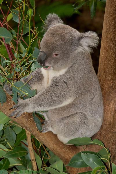 Northern Koala (captive)