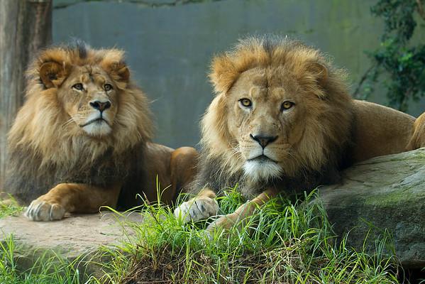 Lions (captive)