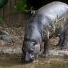 Pygmy Hippo (captive)