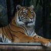 Sumatran Tiger (captive)