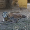 Komodo Dragon (captive)