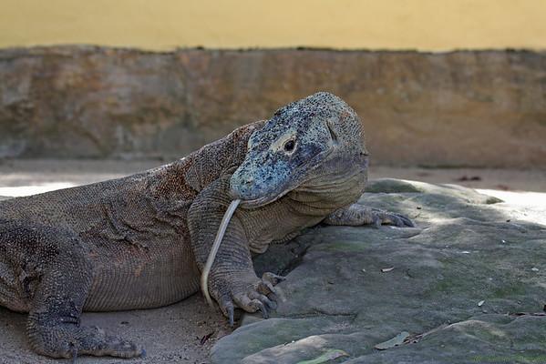 Komodo Dragon (captive)