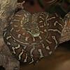 Centriallian Carpet Python (captive)