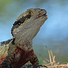 Eastern Water Dragon