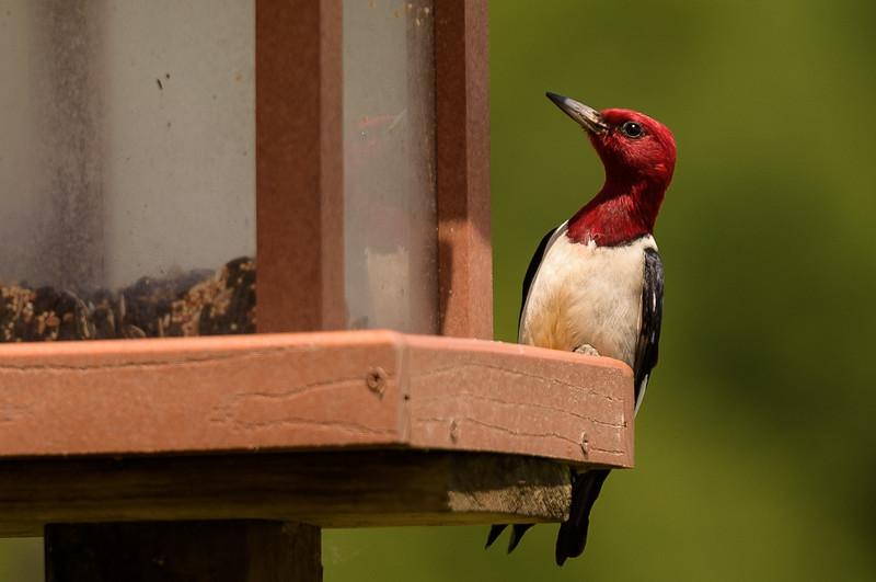 Red-headed Woodpecker ~ Melanerpes erythrocephalus ~ Ohio River Valley