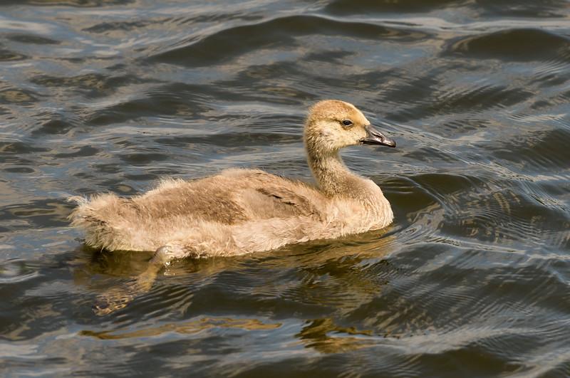 Baby Goose Down ~ Branta canadensis ~ Huron River