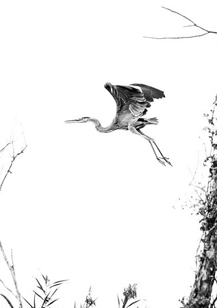 Great Blue Heron in Flight, BnW