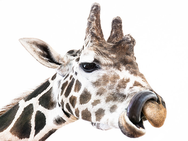 Giraffe Head with Tongue in Nostril