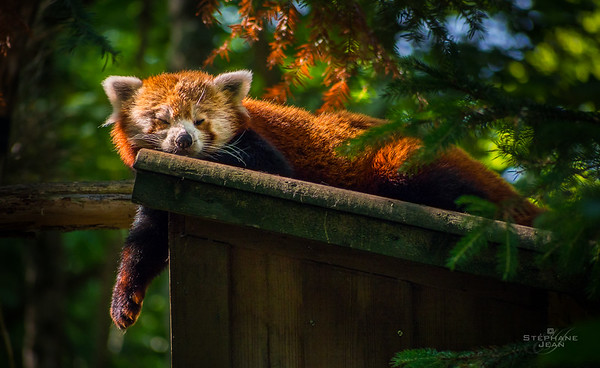 Red panda napping